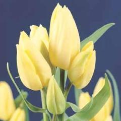 vzf_tulip_hans_dietrich_genscher_close.jpg